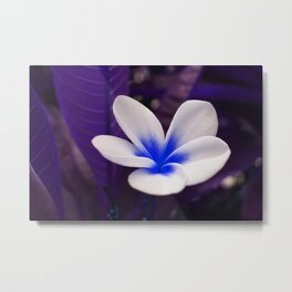 Frangipani In Blue Metal Print