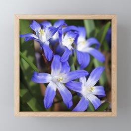 Early Spring Blue - Chionodoxa Framed Mini Art Print