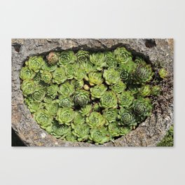 Succulents Lovers Canvas Print