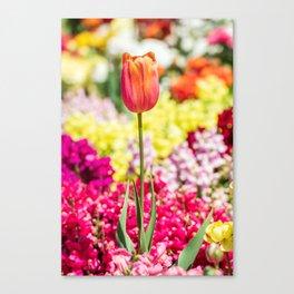 Close up of peach tulip Canvas Print