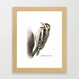 Yellow-Bellied Sapsucker Framed Art Print