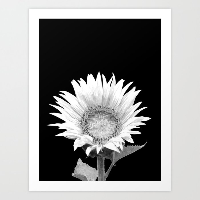 White Sunflower Black Background Art Print