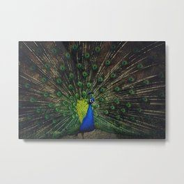 Portrait of peacock spreads his colorful feathers trying to fascinate females Metal Print