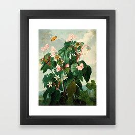 Pink Floral The Oblique-Leaved Begonias : Temple of Flora Framed Art Print