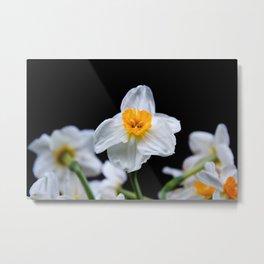 Daffodils4 Metal Print