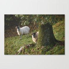 Sheep behind a tree. Cumbria, UK. Canvas Print