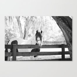 Gypsy Vanner Beauty Canvas Print