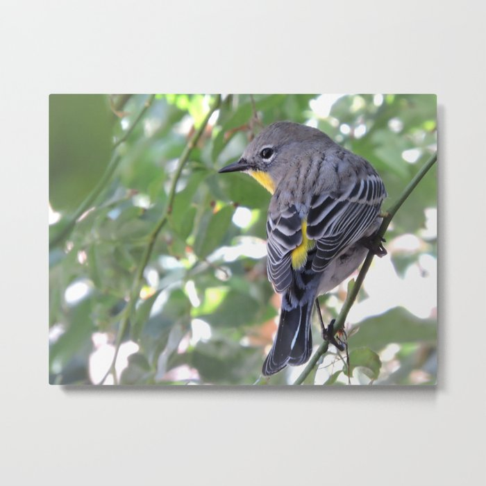 Audubon's Warbler in the Rose Vine Metal Print