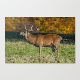 Red deer stag in autumn. Canvas Print