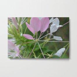 Cleome Petals Metal Print