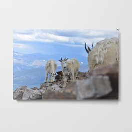 Curious Mountain Goats Metal Print
