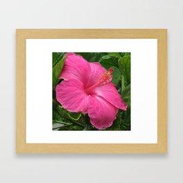 PINK HAWAIIAN HIBISCUS Framed Art Print