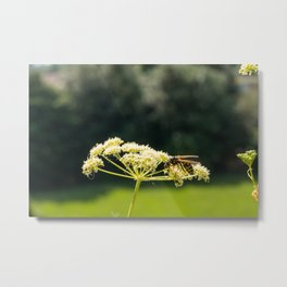 Wasp on a white Caraway or meridian fennel flower. Macro photo. Texture of white petals. Wasp close-up. Drawing on the body of a wasp. The wasp pollinates the flower. Natur green background. Bokeh Metal Print