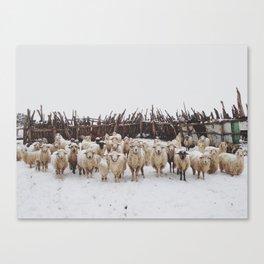 Snowy Sheep Stare Canvas Print