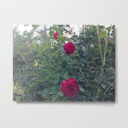 Huntington Roses: I Metal Print