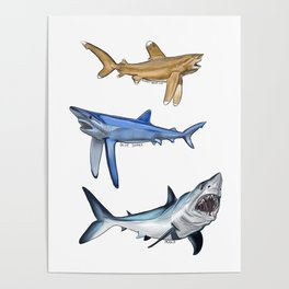Mako Blue White Tip Sharks Poster