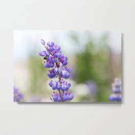 Bumblebee and lupine Metal Print