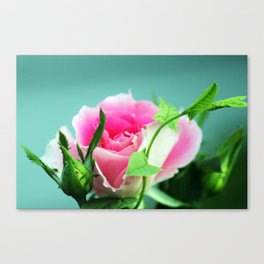 Rose before the beetles got it Canvas Print