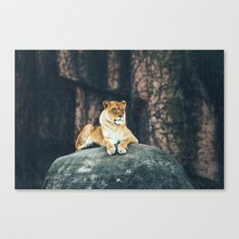 Lion on the rock Canvas Print