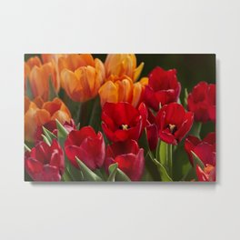 tulip flower in spring in the garden Metal Print
