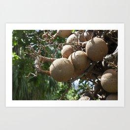 Cannonball Fruit Art Print