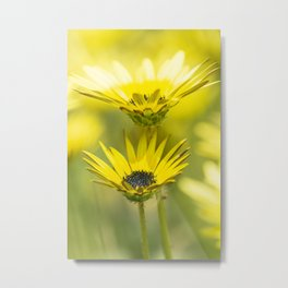 The beauty of yellow daisies Metal Print