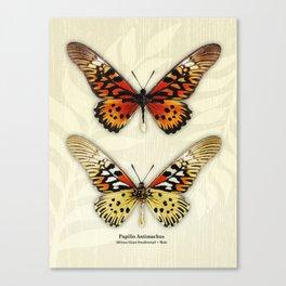 Butterfly14_Papilio Antimachus • male pair Canvas Print