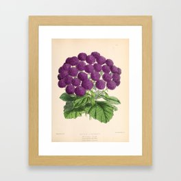 Double Cineraria Original hand-coloured print drawn and lithographed by Fitch Framed Art Print