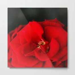 Red Rose Flower Close up Metal Print