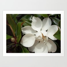 Magnificent Magnolia Art Print