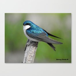 Male Tree Swallow II Canvas Print