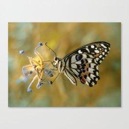 Papilio Demoleus On Blue Flowers Canvas Print