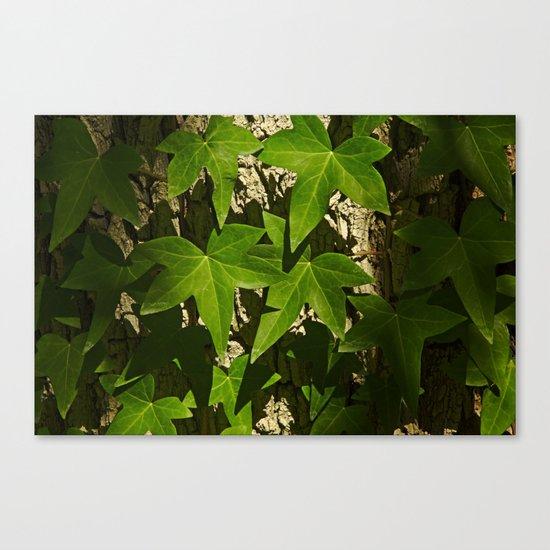 Sunny ivy leafs on a tree bark Canvas Print