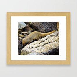 Mongoose Framed Art Print
