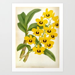 Vintage Yellow Leafy Orchids Lindenia Collection Art Print