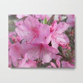 Pink Azaleas (macro) Metal Print