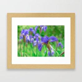 Group of purple irises in spring sunny day Framed Art Print