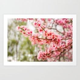 Wonderful Pink Cherry Blossoms at Floriade Art Print