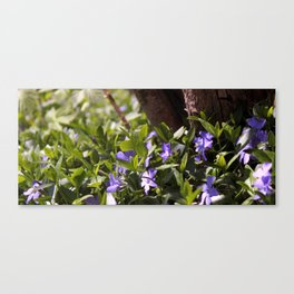 Vinca minor  Canvas Print