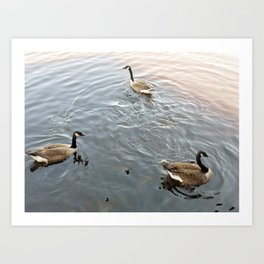 Geese in a Pond Art Print