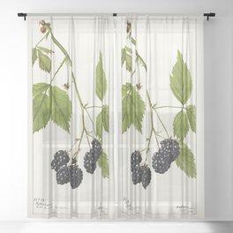 Blackberries (Rubus subg Rubus Watson) (1904) by Deborah Griscom Passmore Sheer Curtain