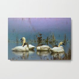 Tundra Swans against a blue and purple background. Metal Print