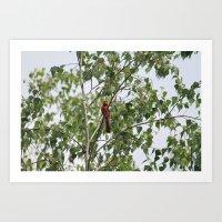 Cardinal 6800 Art Print