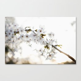 Cherry Tree Blossoms Canvas Print