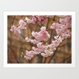 Beautiful Cherry blossom in Stockholm in May Art Print