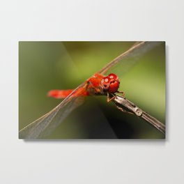 Scarlet Percher Dragonfly Metal Print