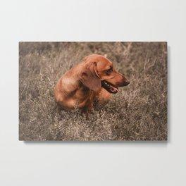 Photo Dog Dachshund Closeup on Nature Metal Print
