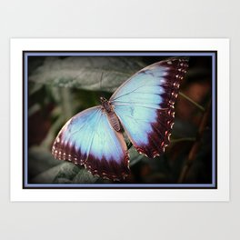 Blue Morpho - Wings Open Art Print