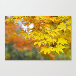 Japanese maple in yellow and orange Canvas Print