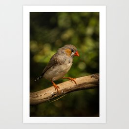 Coastal Finch Art Print